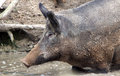 Female wild boar standing in water Royalty Free Stock Image