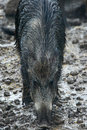 Female wild hog in the mud Royalty Free Stock Photo