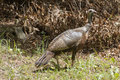 Female Wild Turkey Royalty Free Stock Photo