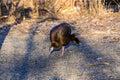 Female Wild Turkey. Royalty Free Stock Photo