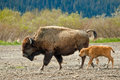 Female Wood Bison With Calf Stock Photography