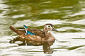 Female Wood Duck Royalty Free Stock Image
