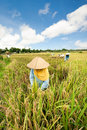 Female workers harvesting rice bali indonesia Stock Photos