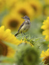 Female yellow wagtail sitting on the field Royalty Free Stock Photo
