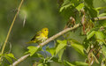 Female yellow warbler dendroica petechia Royalty Free Stock Images