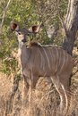 stock image of  Female young kudu cow in wild African bush