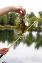 Females hand holding large sunfish at lake vertical photo of female fishing rod reel and line with and trees in background Stock Photo