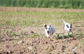 Females of jack russell in a field two dogs Stock Photography