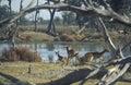 Females of red lechwe gazelle kobus leche moremi game reserve okavango delta botswana Stock Photo