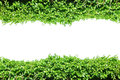 Fence green leaves, plant frame border, vines wall garden, tree isolated Royalty Free Stock Photo