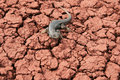 Fence lizard on cracked red ground Stock Images