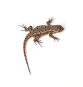 Fence lizard eastern sceloporus undulatus on a white background Stock Photo