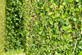 Fence made ​​from green plants Royalty Free Stock Image