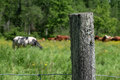 Fence post with cows in field in Quebec Royalty Free Stock Photo