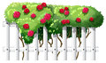 A fence with rose plants illustration of on white background Stock Photo