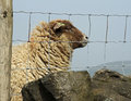 Fenced in sheep solitary behind wire fence yorkshire uk Royalty Free Stock Photos