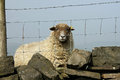 Fenced in sheep solitary behind wire fence yorkshire uk Royalty Free Stock Images