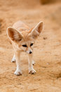 Fennec fox frontal shot of a Stock Image