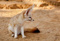 Fennec fox side shot of a Stock Photos