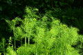 Fennel bush in nature a of fresh organic the garden outdoors Stock Photo