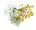 Fennel Flowers and Leaves Royalty Free Stock Photo