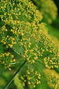 Fennel foeniculum vulgare a close up of a Royalty Free Stock Photo