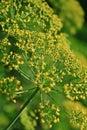 Fennel foeniculum vulgare close up of a Stock Photos