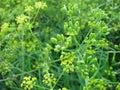 Fennel foeniculum vulgare herbs wild Stock Photo