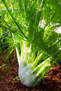 Fennel growing in the flowerbed garden Royalty Free Stock Photos