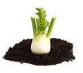 Fennel on soil humus bed isolated on white background a Stock Photography