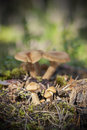 Fenugreek milkcap mushrooms family of in forest Royalty Free Stock Images