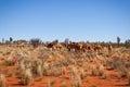 Feral Camels in Outback Desert Australia