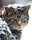 Feral cat covered in snow Royalty Free Stock Images