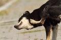 Feral dog scratching