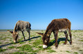 Feral donkeys on sacalin island in the danube delta romania Stock Photos