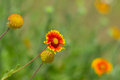 Feral indian blanket flowers in wild field Royalty Free Stock Photography