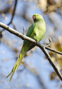 Feral parrot a in a garden tree Stock Photography