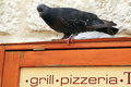 Feral pigeon or dove columba livia on restaurant sign also called city city street sitting a for grill pizzaria Stock Photography