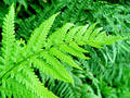 Fern Obrazy Stock