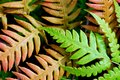 Fern Royalty Free Stock Photography