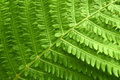 Fern Royalty Free Stock Photos