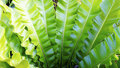 Fern Asplenium nidus natural plant Royalty Free Stock Photo