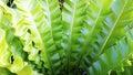 Fern Asplenium nidus natural plant Royalty Free Stock Photo