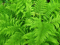 Fern background Royalty Free Stock Photos