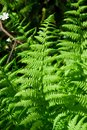 Fern beautiful leaves of green or cyathea lepifera Stock Images