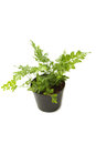 Fern bracken houseplant in pot isolated Royalty Free Stock Photos