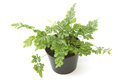 Fern bracken houseplant in pot isolated Royalty Free Stock Image