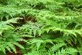 Fern Bracken Leaves