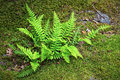 Fern bracken on moss a covered boulder Stock Photos