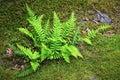 Fern (Bracken) On Moss